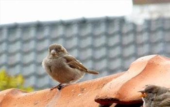 mussen-op-het-dak-vogeloverlast-onder-dakpannen